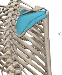 棘下筋、棘上筋、小円筋.jpgのサムネイル画像