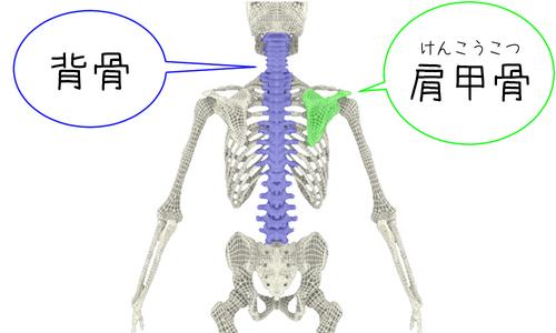 背骨と肩甲骨.jpg