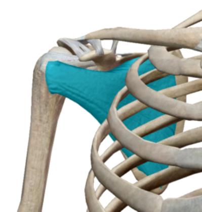 肩甲下筋.pngのサムネイル画像